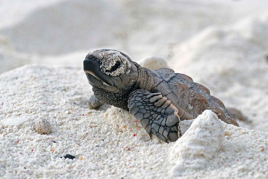 bonaire-turtles-hatching