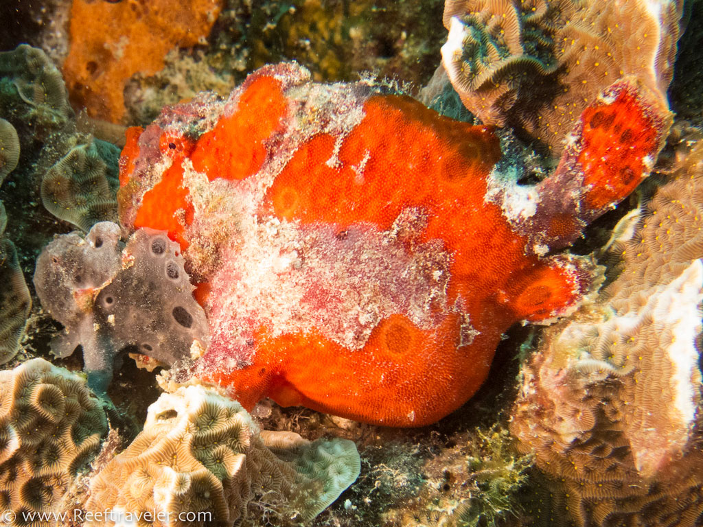 Frogfish-Pair-2-S