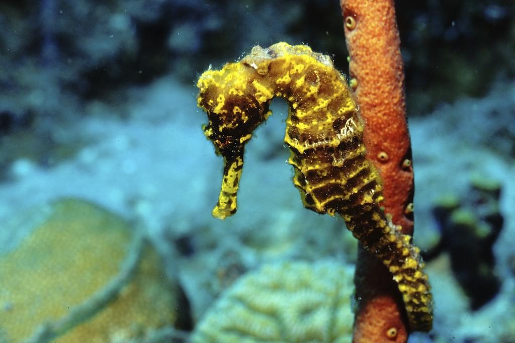 Seahorse Bonaire