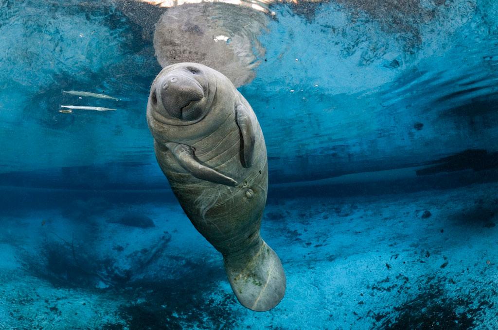 manatee-endangered-species